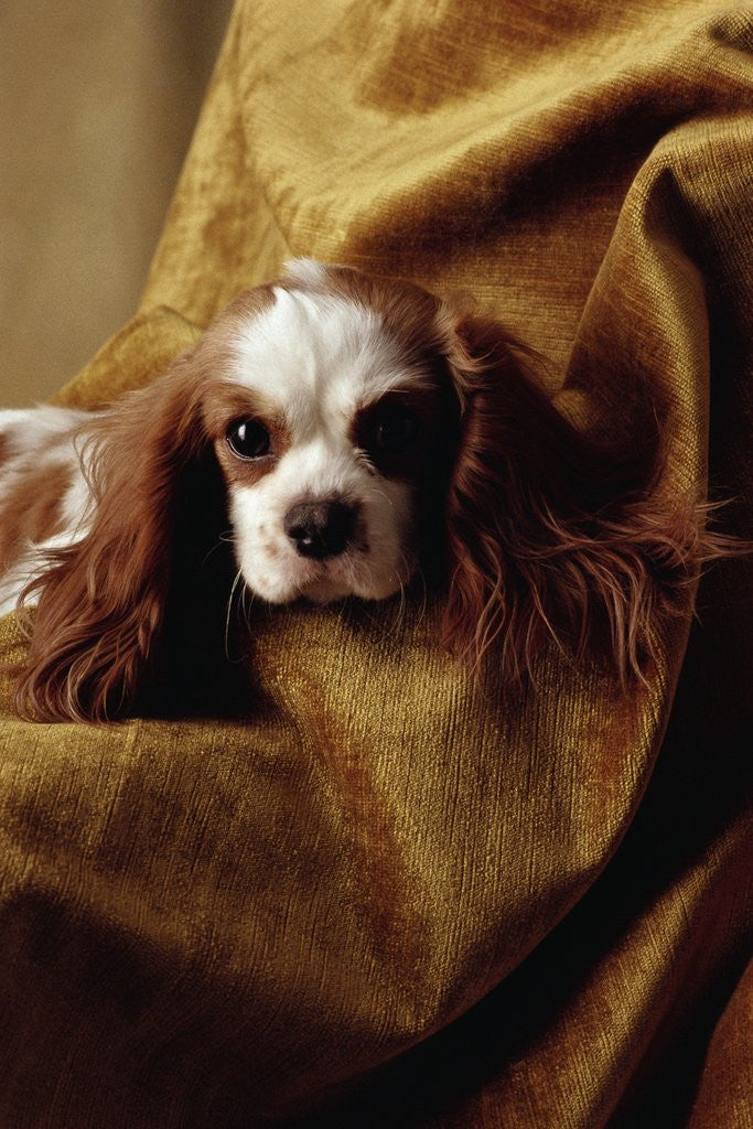 Detail of Cavalier King Charles Spaniel by Corbis