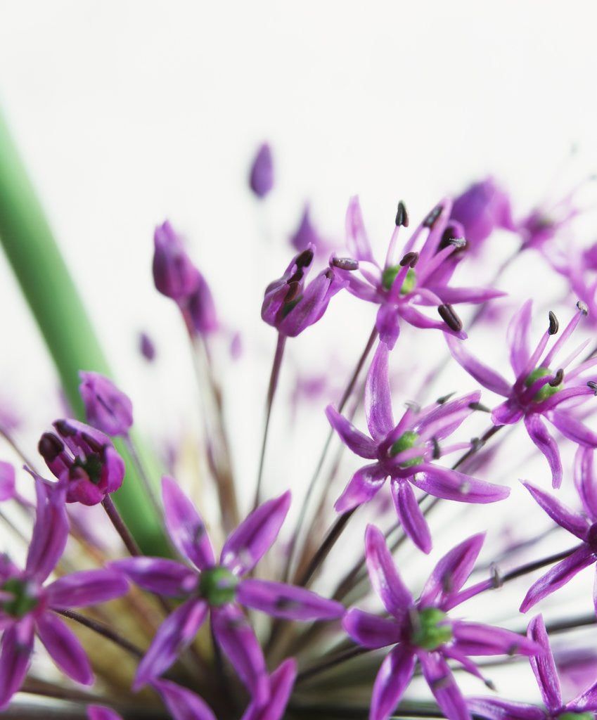 Detail of Allium by Corbis
