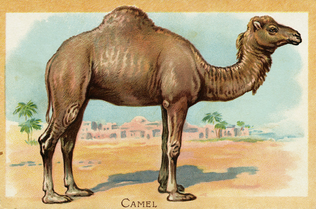 Detail of Camel Postcard by Corbis