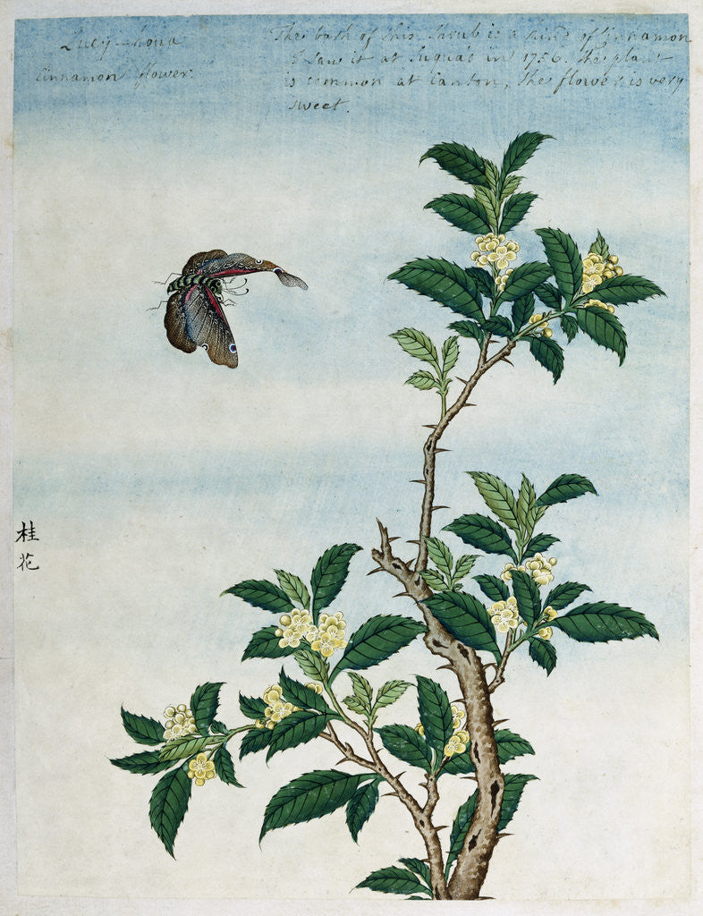 Detail of Early 19th-Century Chinese Watercolor of a Cinnamon Plant by Corbis