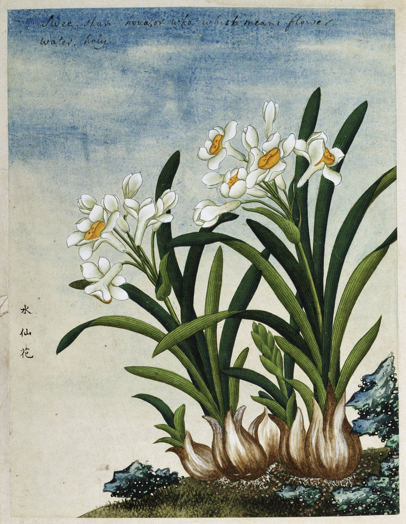 Detail of Early 19th-Century Chinese Watercolor of Daffodils by Corbis