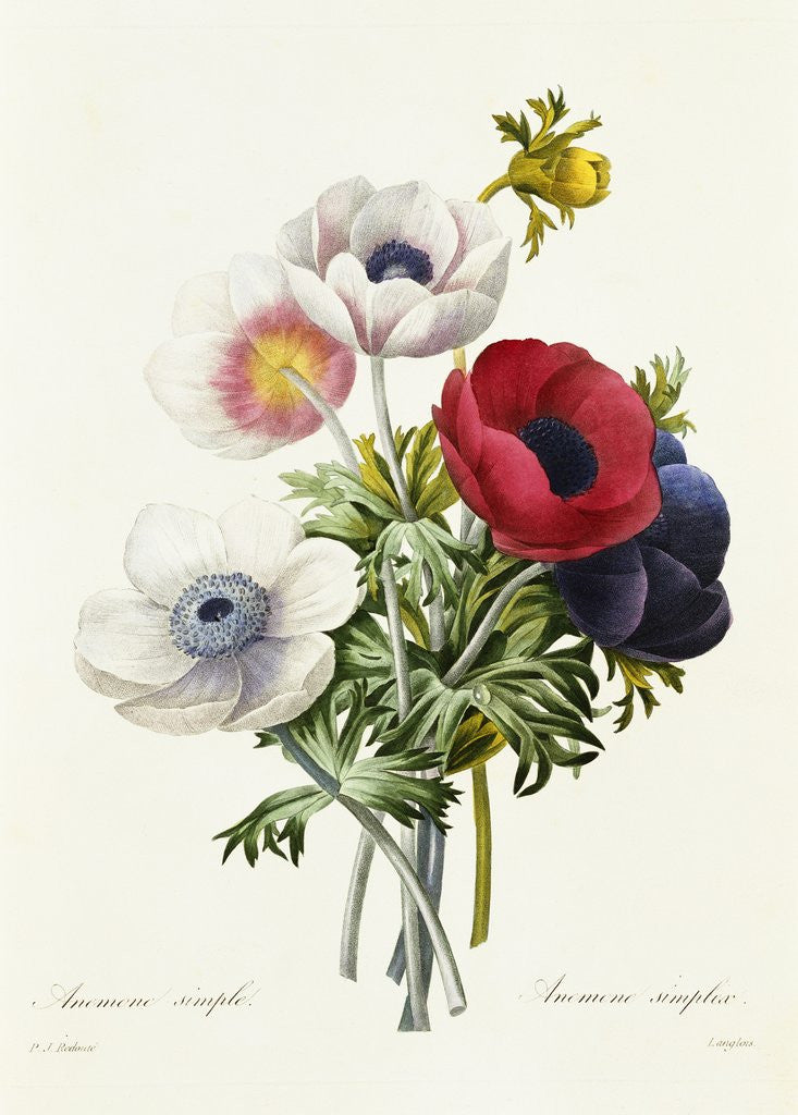 Detail of Anemone Simplex by Pierre Joseph Redoute