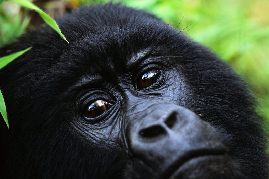Detail of Female Mountain Gorilla by Corbis