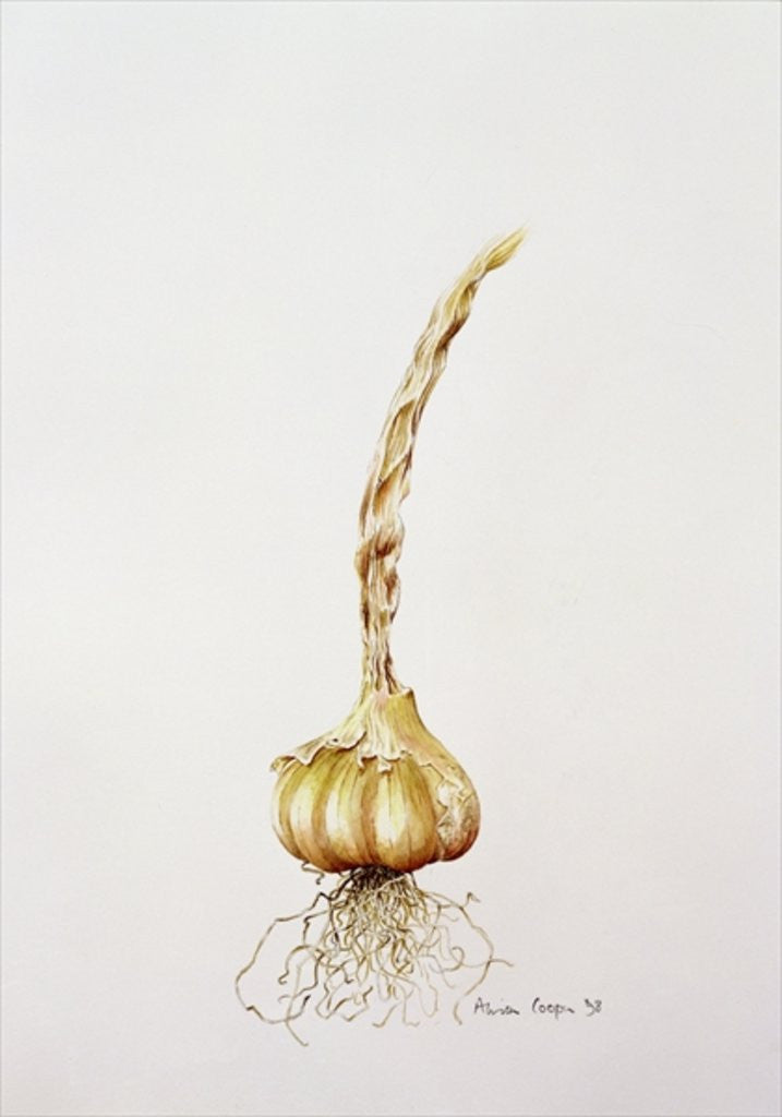 Detail of garlic by Alison Cooper