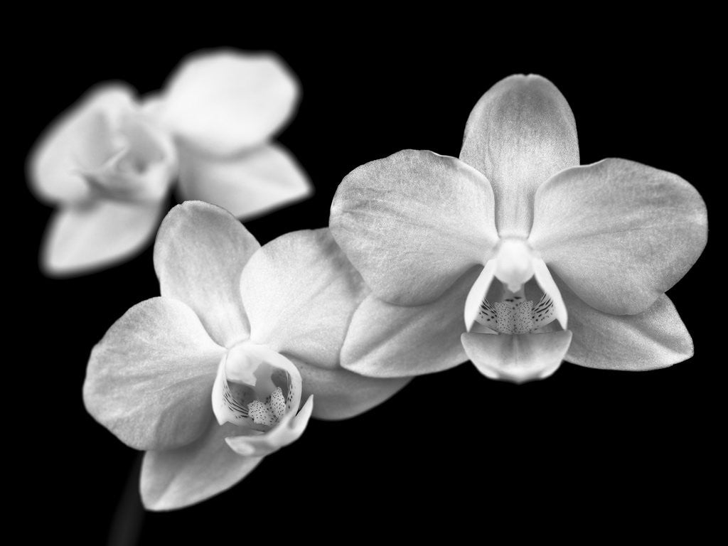 Detail of Close-up of white Orchids by Assaf Frank