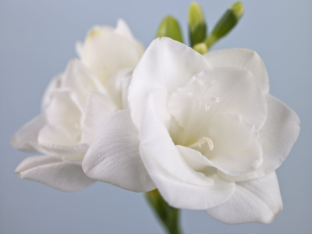 Detail of Close-up of White Freesias by Assaf Frank