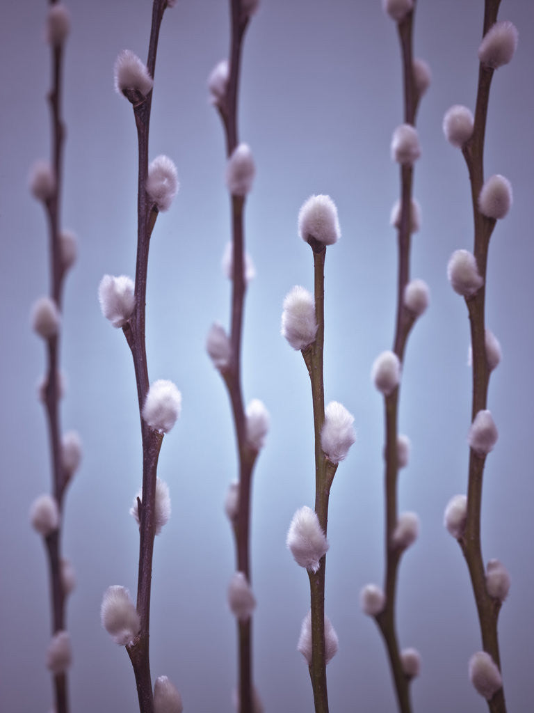 Detail of Pussy Willow twigs by Assaf Frank