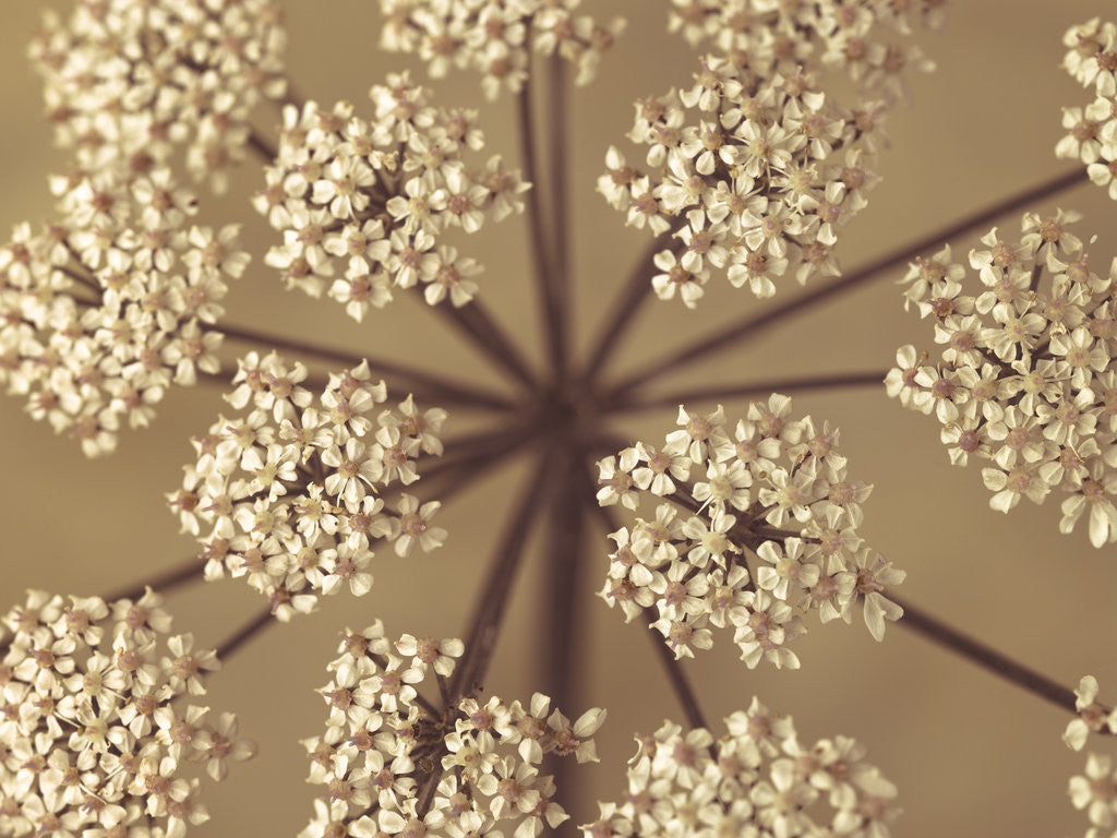 Detail of Cow Parsley close-up by Assaf Frank