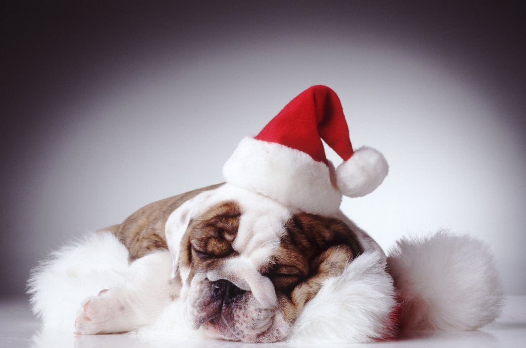 Detail of Bulldog Wearing Santa Hat by Corbis