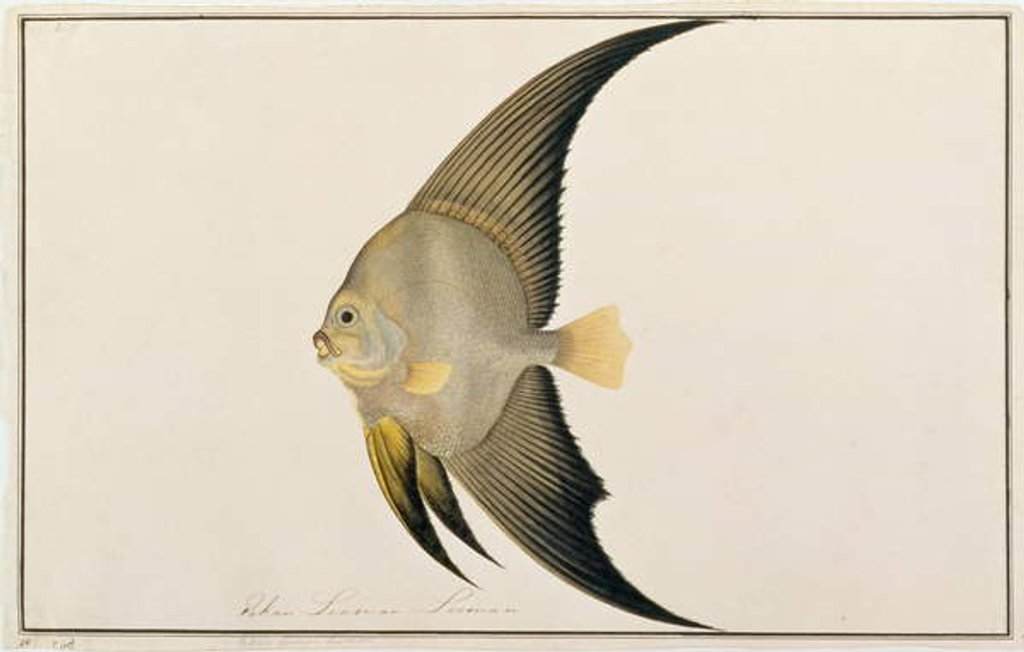 Detail of Long-finned Batfish by Chinese School