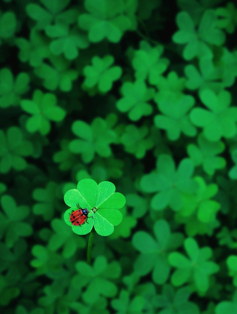 ladybug on four leaf clover posters prints by corbis