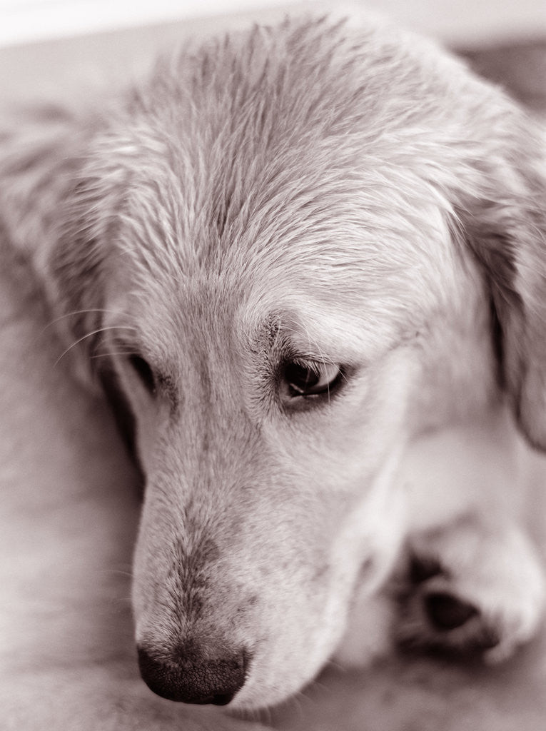 Detail of Golden Retriever by Corbis