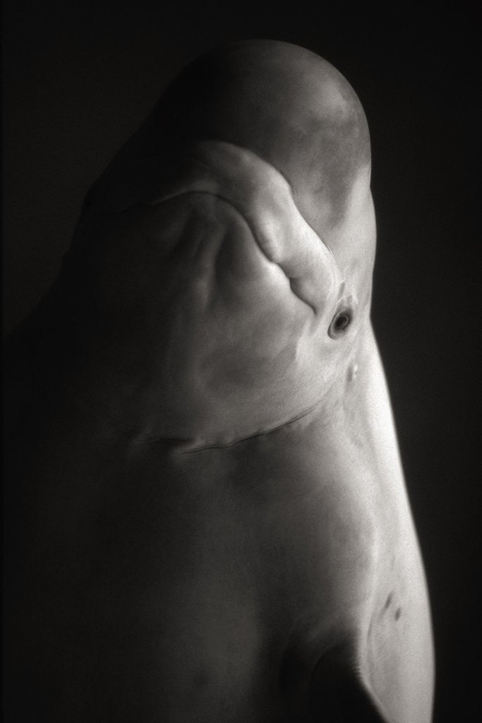 Detail of Beluga Whale by Corbis