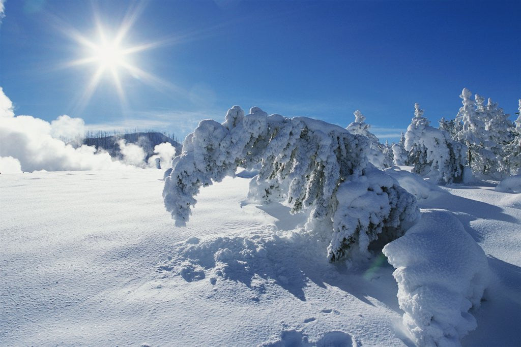 Detail of Snow on Trees at Lower Geyser Basin by Corbis