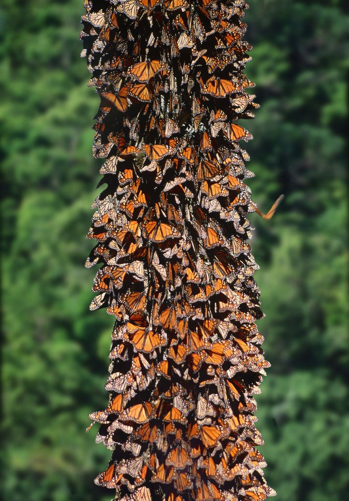 Detail of Monarch Butterflies by Corbis