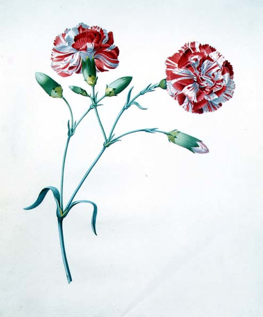 Detail of Carnation by Georg Dionysius Ehret