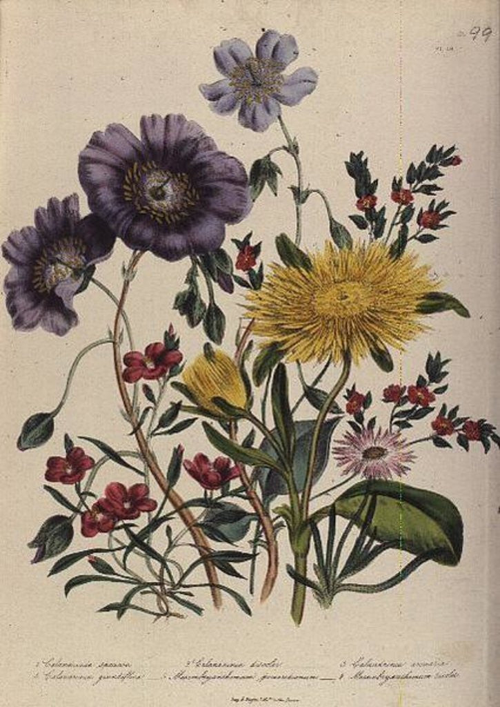 Detail of Calandrinia, plate 18 from 'The Ladies' Flower Garden', published 1842 by Jane Loudon