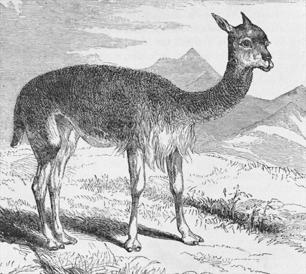 Detail of The Vicuna at the Rio de Azufre by English School