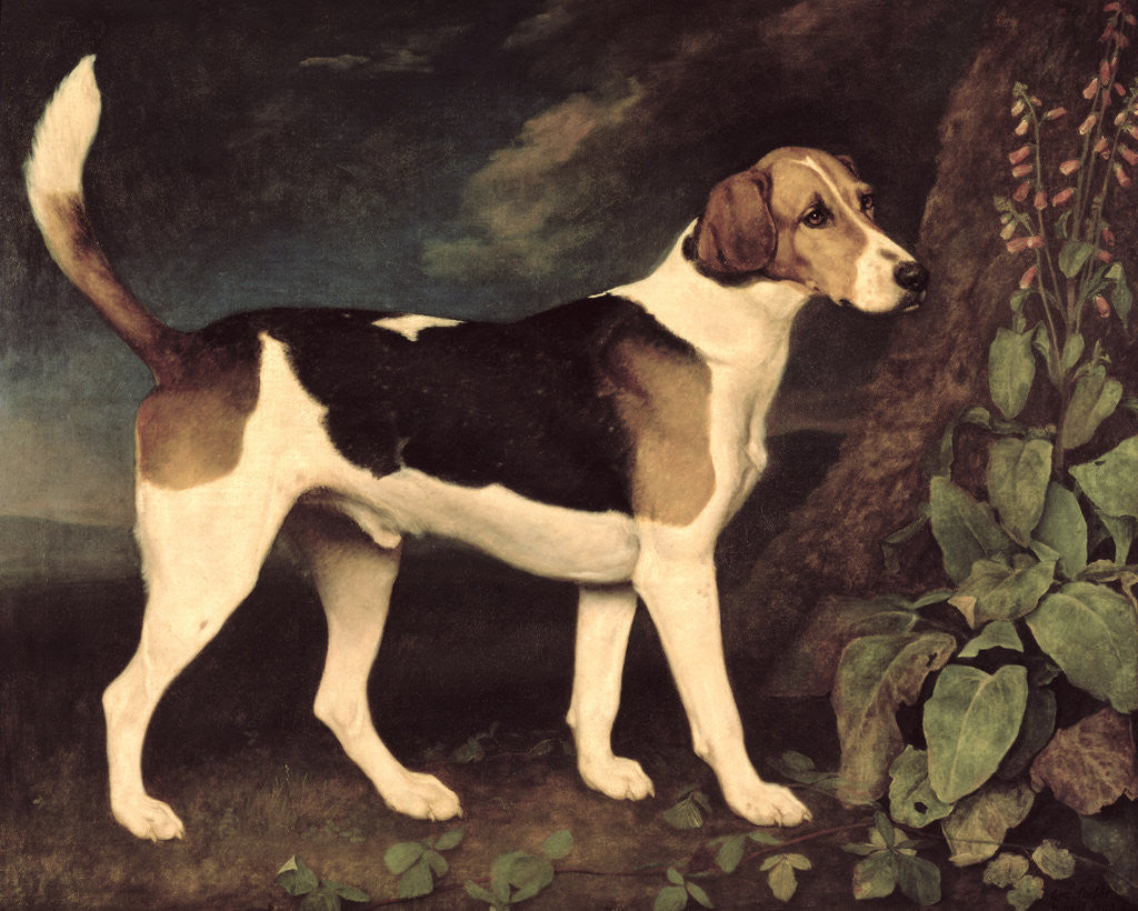 Detail of Ringwood, a Brocklesby Foxhound by George Stubbs