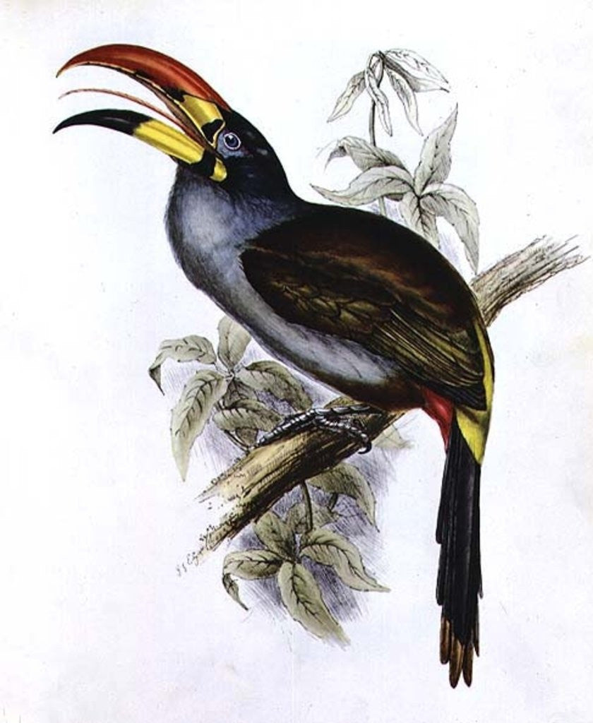 Detail of Pteroglossus Hypoglaucus by John Gould