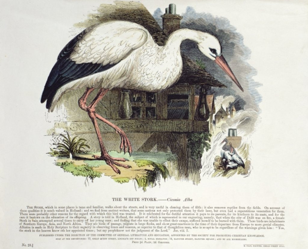Detail of White Stork by English School