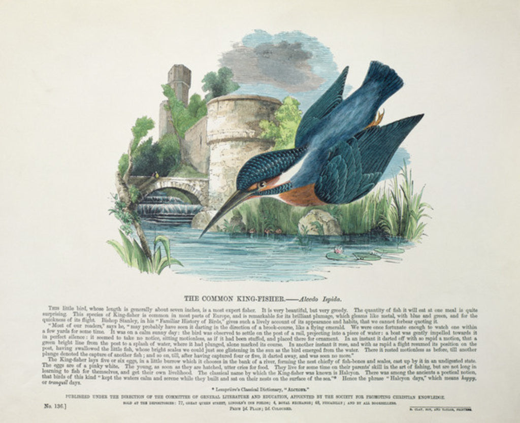 Common Kingfisher by English School
