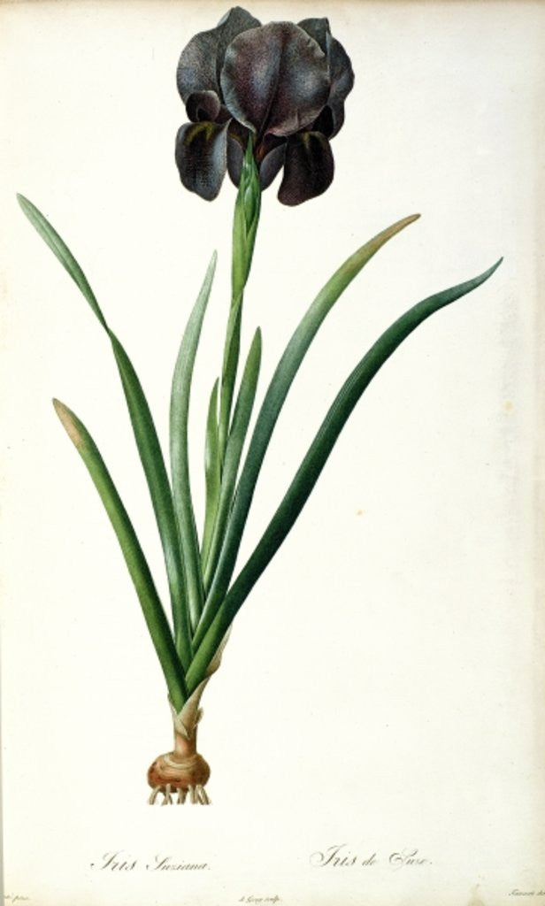 Detail of Iris Luxiana by Pierre Joseph Redoute