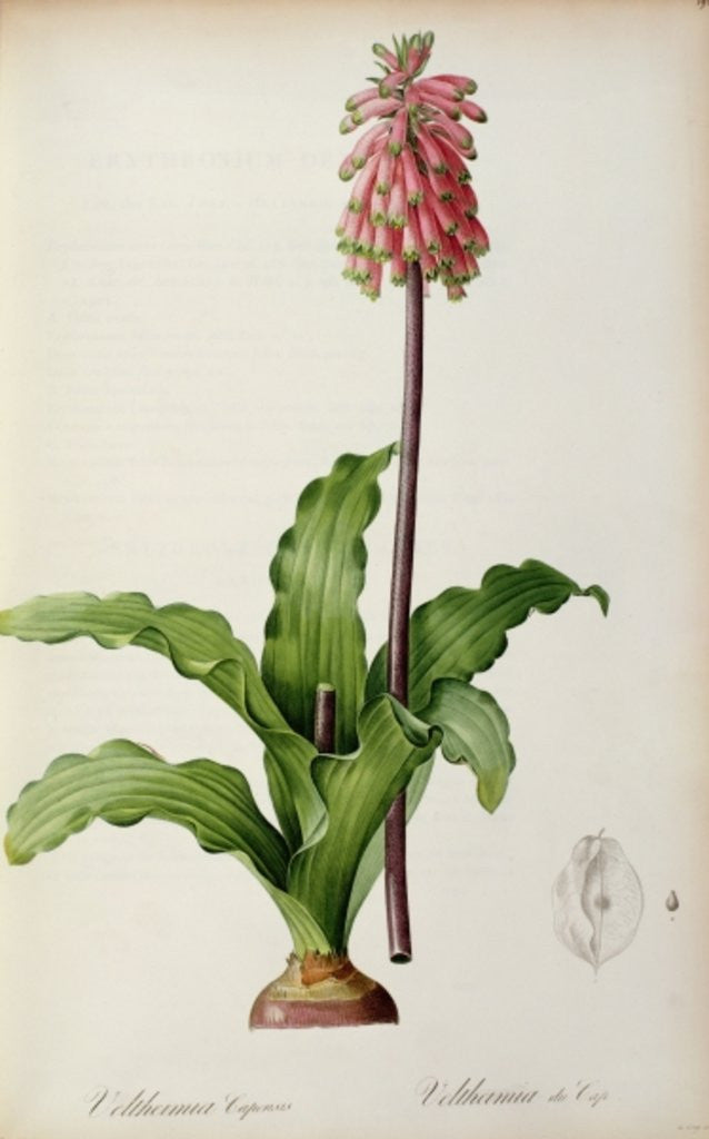 Detail of Veltheimia Capensis by Pierre Joseph Redoute