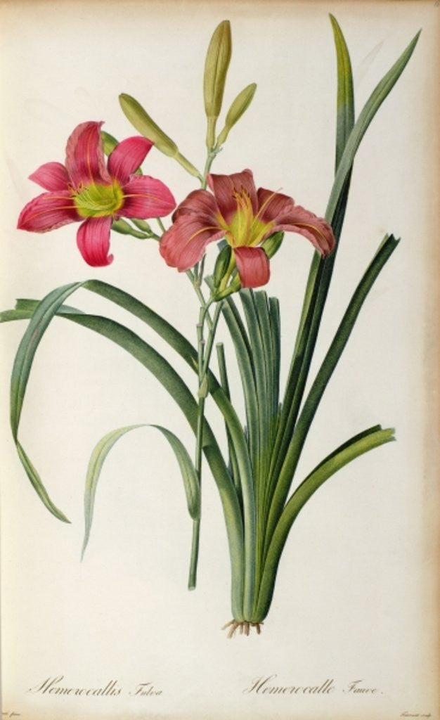 Detail of Hemerocallis fulva by Pierre Joseph Redoute