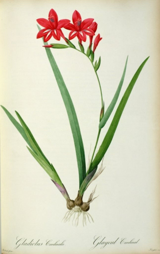 Detail of Gladiolus Cardinalis by Pierre Joseph Redoute