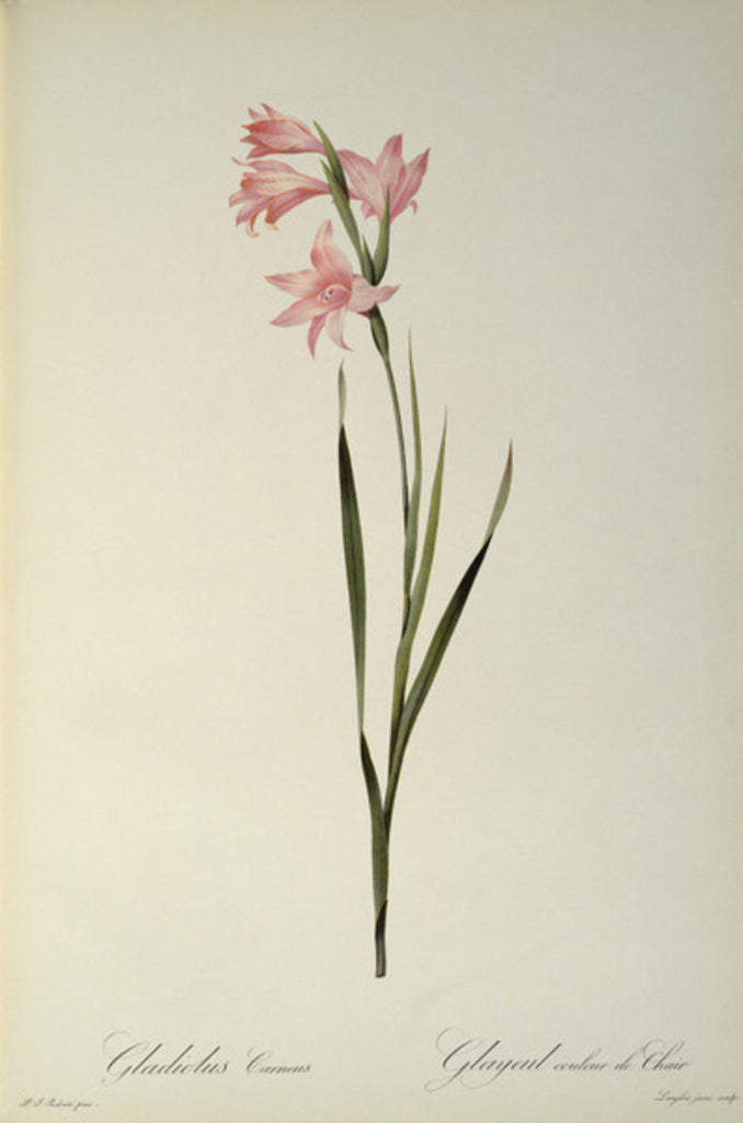 Detail of Gladiolus Carneus by Pierre Joseph Redoute
