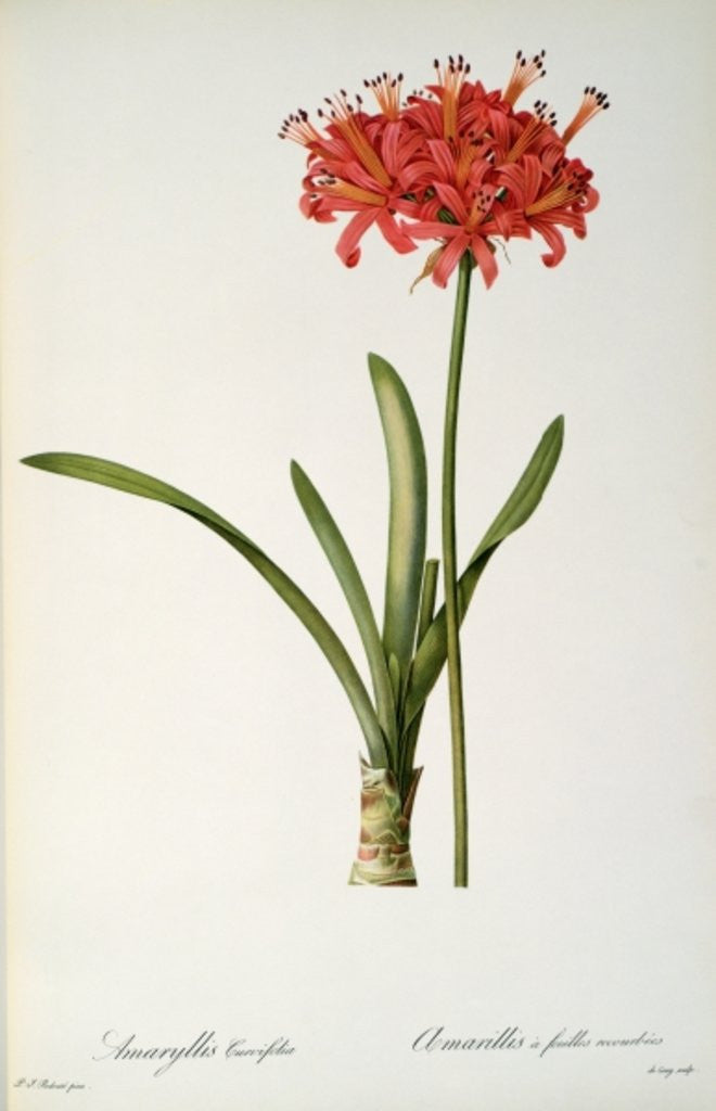 Detail of Amaryllis Curvifolia by Pierre Joseph Redoute
