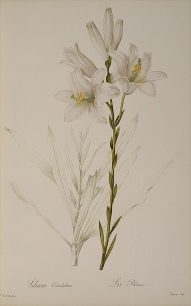 Detail of Lilium Candidum by Pierre Joseph Redoute