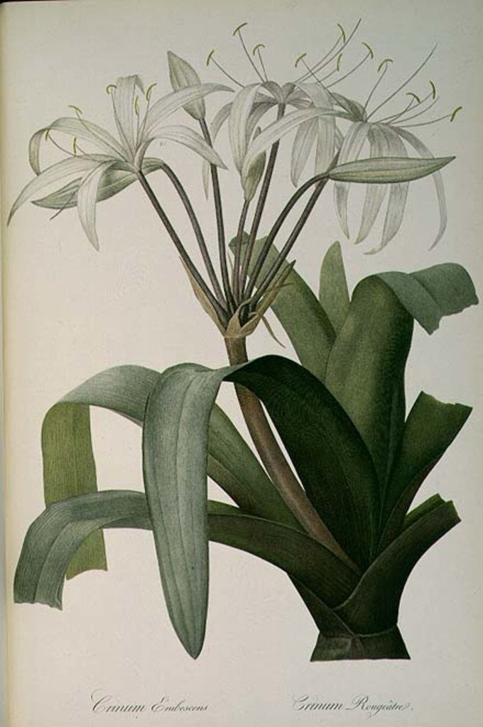 Detail of Crinum Erubescens or Crinum Rougeatre by Pierre Joseph Redoute