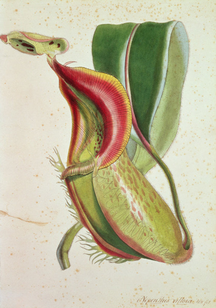 Detail of Pitcher plant: Nepenthes villosa (insect eating) by English School