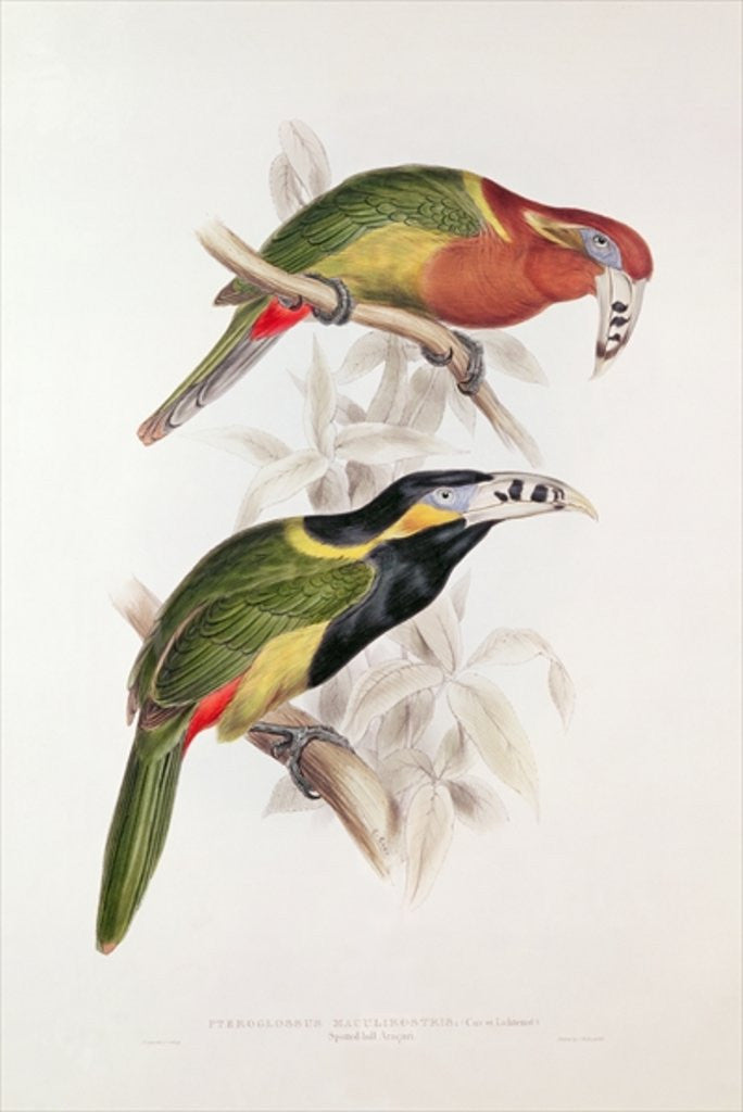 Detail of Spotted Bill Aracari by Edward Lear