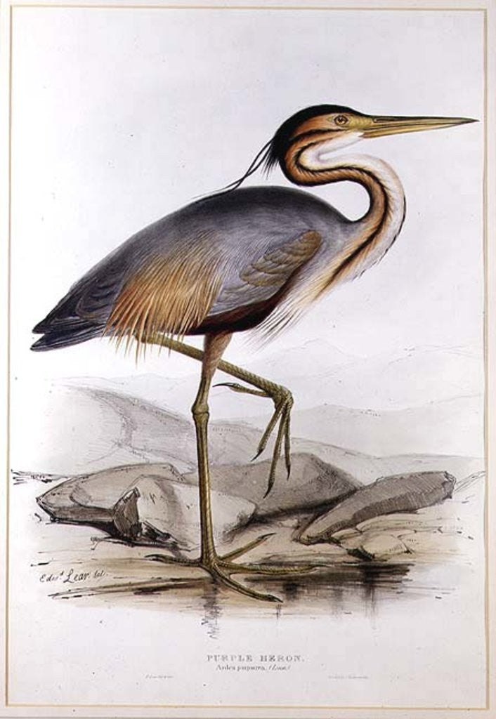 Detail of Purple Heron by Edward Lear