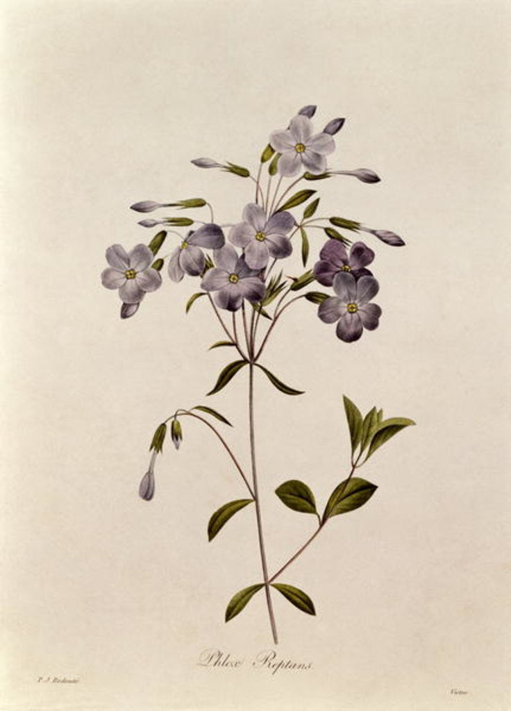 Detail of Phlox reptans by Pierre Joseph Redoute