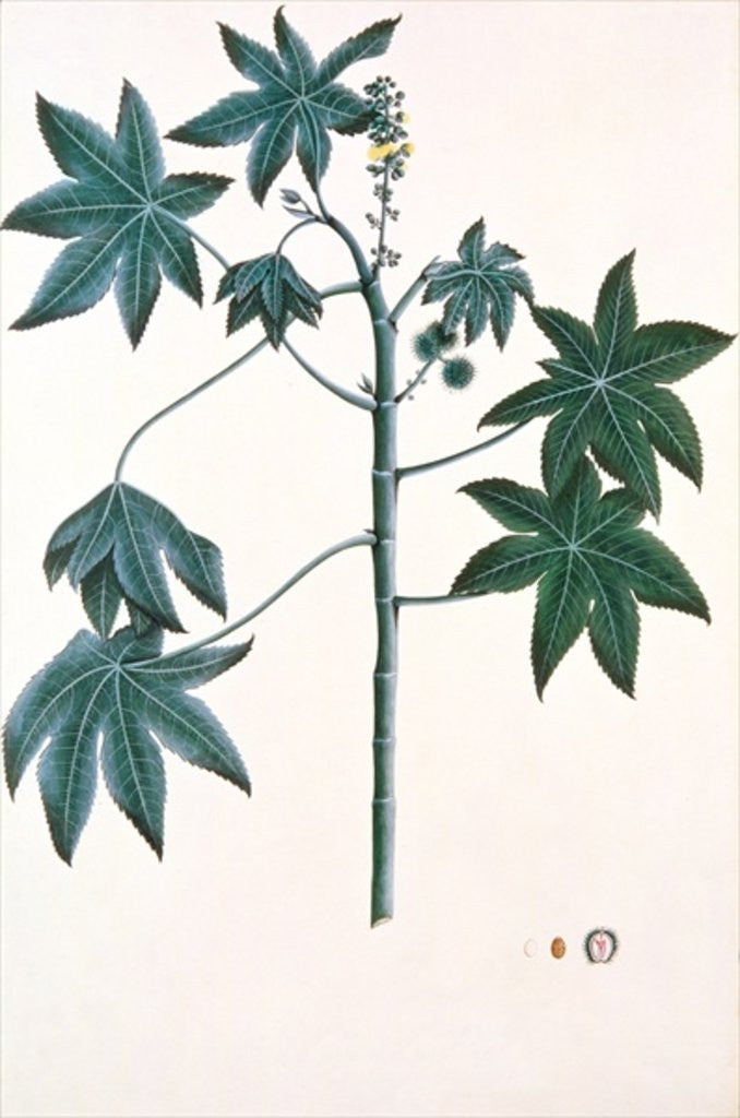 Detail of Castor oil plant by Indian School