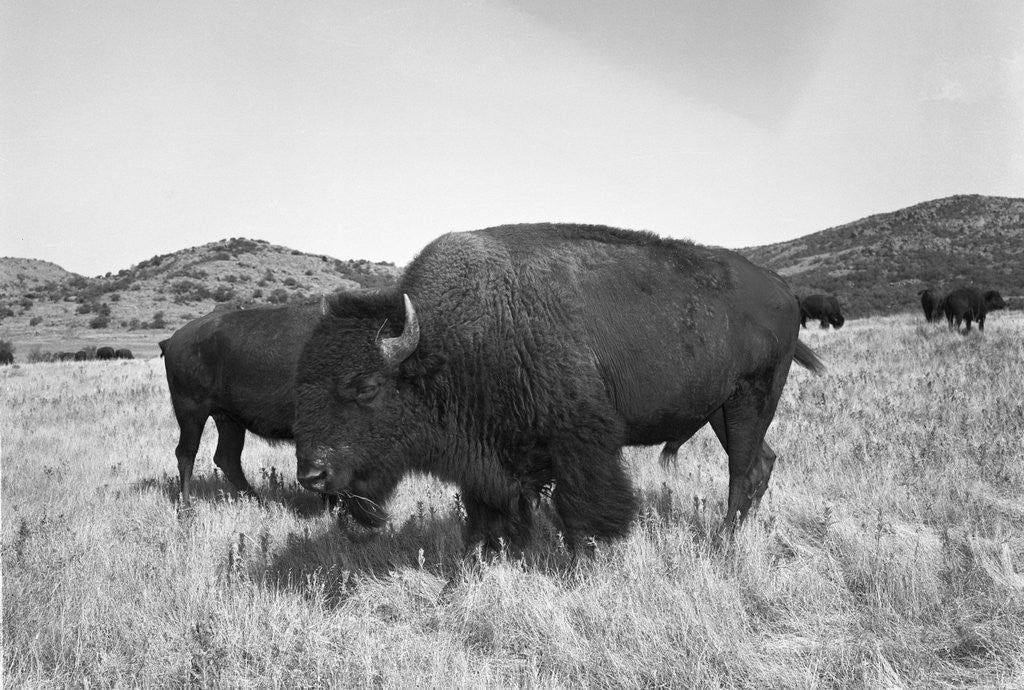 Detail of Bison in Wildlife Refuge by Corbis