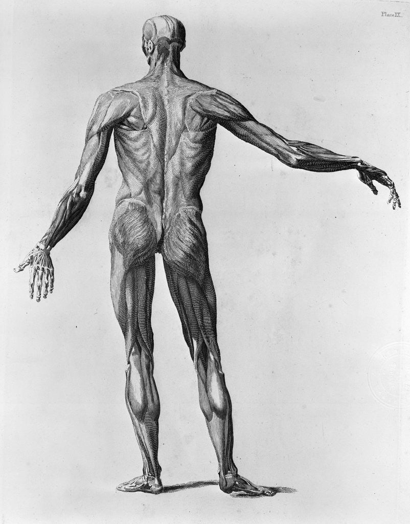 Anatomical Study Of The Back Of A Human Posters Prints By Corbis