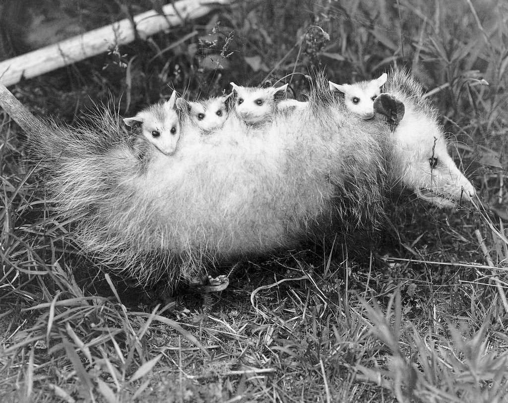 Detail of Female Opossum With Young by Corbis