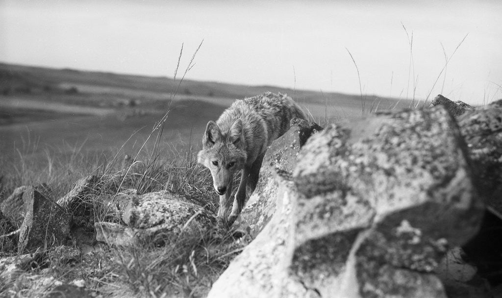 Detail of Coyote On Prairie Lurking For Prey by Corbis