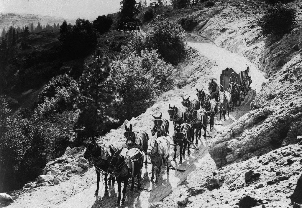 Detail of Pack Of Team Mules Going Through Sonora Pass by Corbis