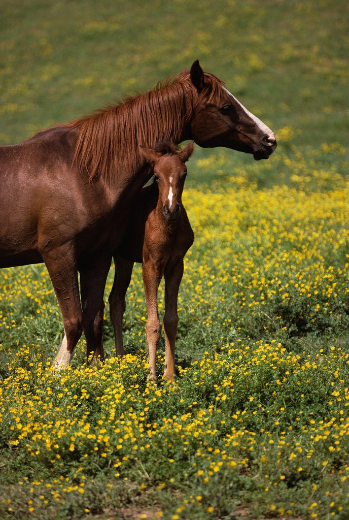 Detail of Arabian Mare and Foal by Corbis