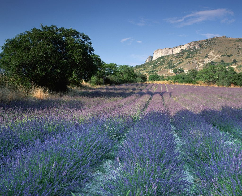 Detail of Fields of Lavender in Provence, France by Corbis