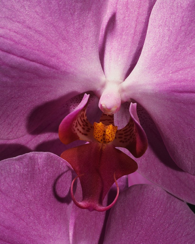 Detail of Purple Moth Orchid by Corbis