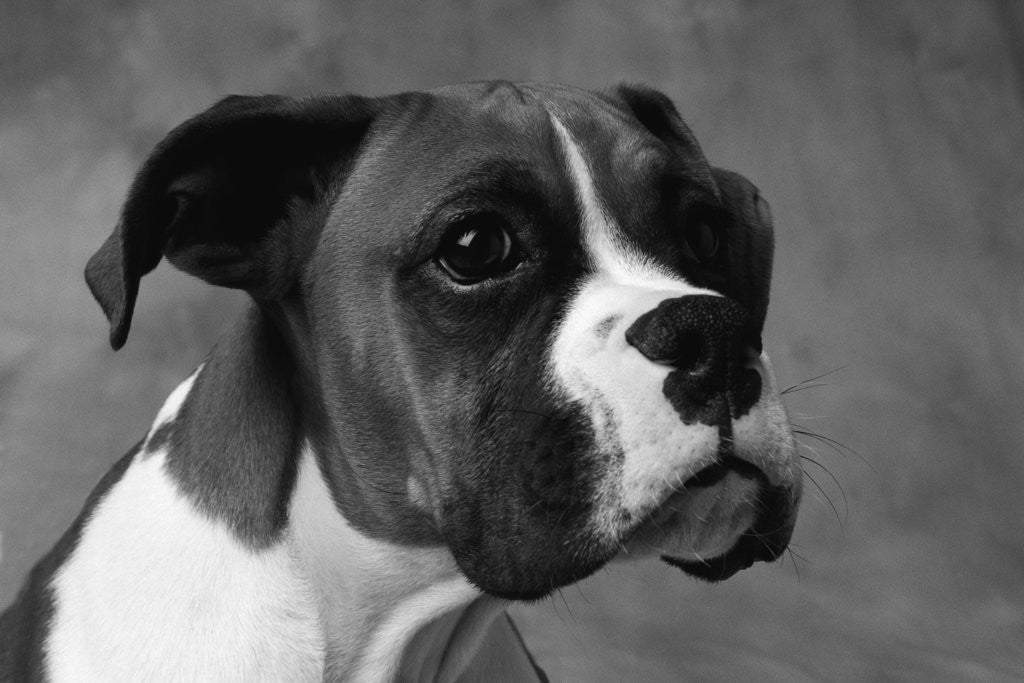 Detail of Boxer Puppy by Corbis