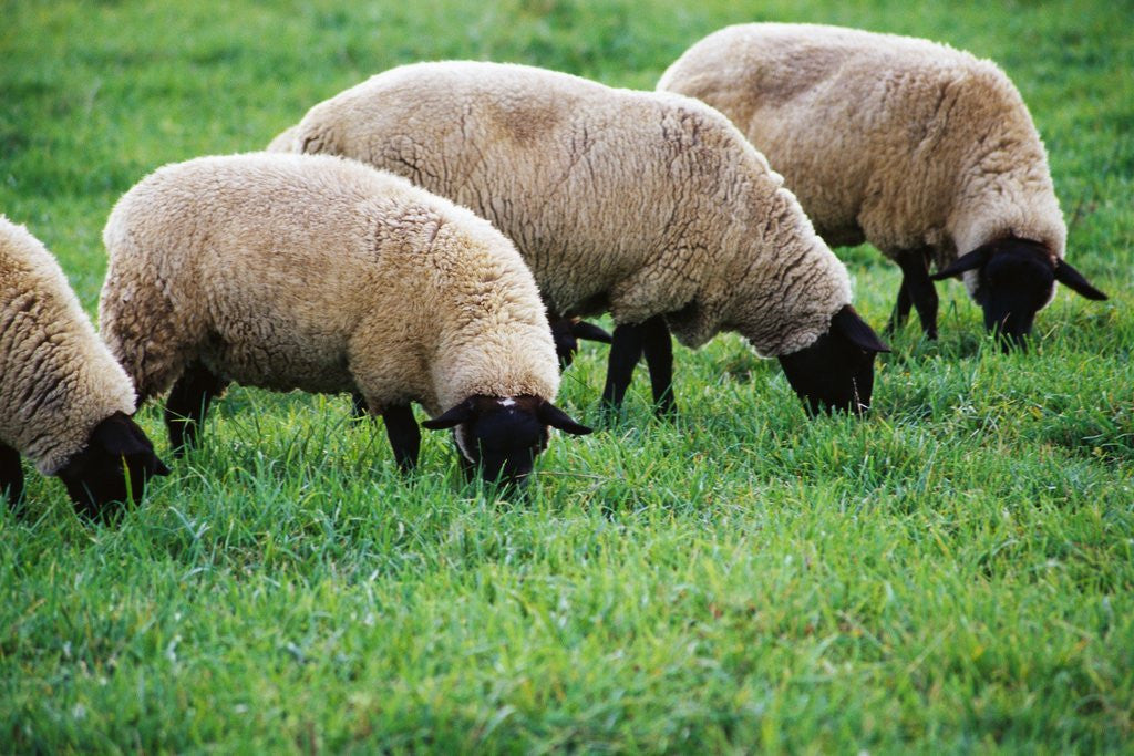 Sheep Grazing by Corbis
