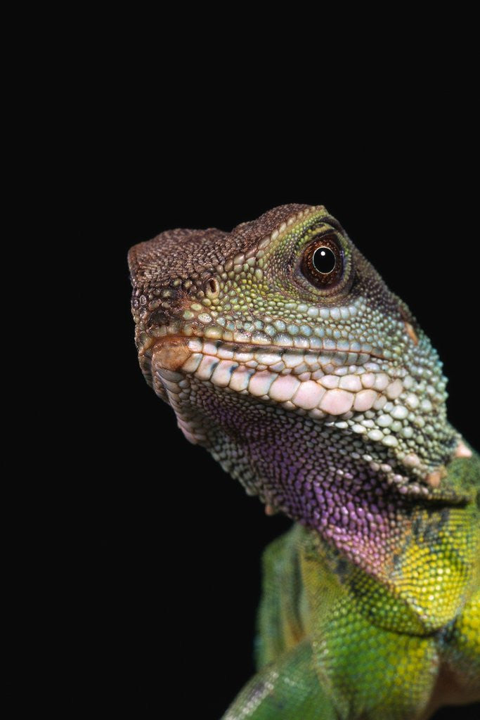 Detail of Green Water Dragon by Corbis